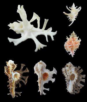 Muricidae - Muricopsinae