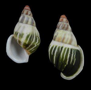 Amphidromus pamabbasae