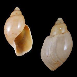 Volutidae (Volutes) - Scaphellinae