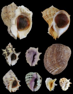 Muricidae - Rapaninae (Rock shells)