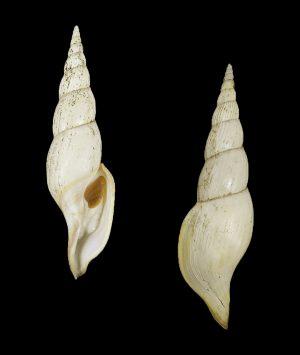 Calliotectum tibiaeforme tibiaeforme (Tibia volute)