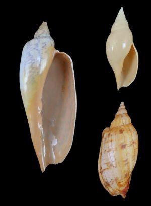 Volutidae (Volutes) - Zidoninae