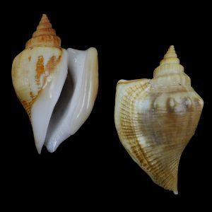 Dolomena labiosa (Thick-lipped conch)