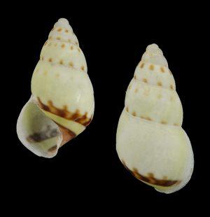Amphidromus singalangensis