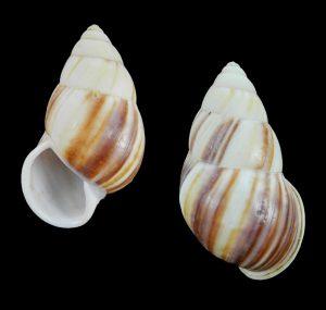 Amphidromus javanicus (Javan amphidromus)