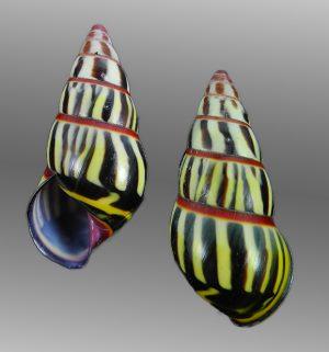 Amphidromus mariae