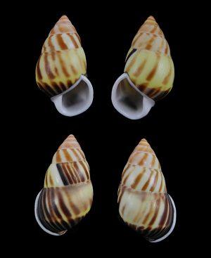 Amphidromus perversus perversus f. strigosus