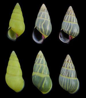 Amphidromus anhdaoorum