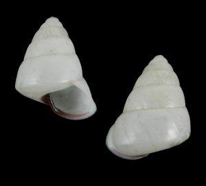 Satsuma careocaecum