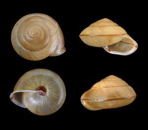 Satsuma carinatus