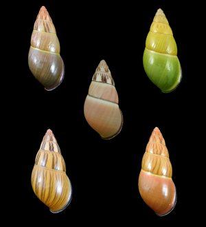 Amphidromus noriokowasoei (Noriokowasoe's amphidromus)