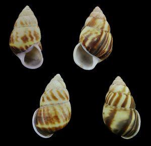 Amphidromus perversus perversus - Lavina form