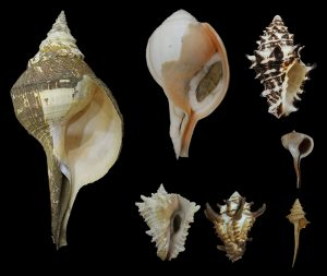 Turbinellidae (Chanks & Pagoda shells)