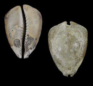 Cypraea beberkiriana