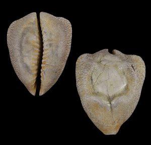Cypraea caputviperae