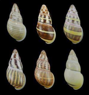Amphidromus keppensdhondtorum