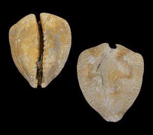 Cypraea quadrinodosa
