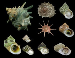 Turbinidae (Turbans & Star Shells)