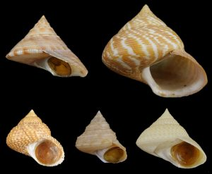 Calliostomatidae (Noble top shells)