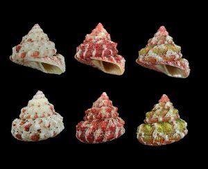 Trochus ferreirai (Ferreira's top shell)