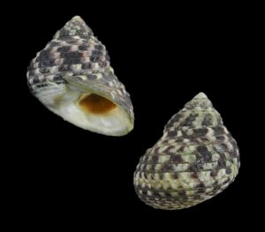 Monodonta labio (Toothed top shell)