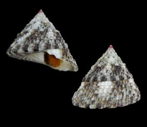 Trochus maculatus (Mottled top shell)