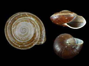 Chronidae (Fat snails)