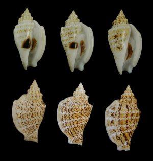 Dolomena variabilis (Variable conch)