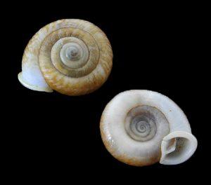 Plectopylidae