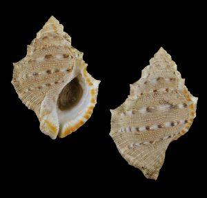 Bufonaria crumena