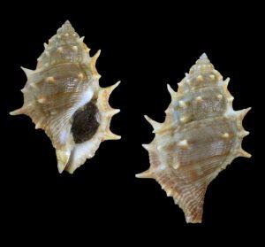 Bufonaria echinata (Spiny frog shell)