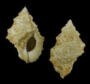 Bursina nobilis (Noble frog shell)
