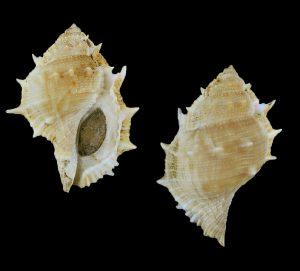 Bufonaria rana (Common frog shell)