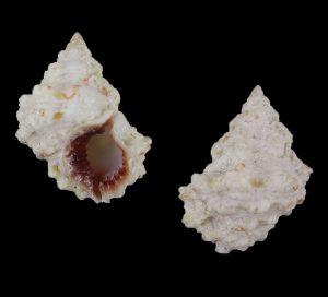 Bursa rhodostoma rhodostoma (Wine-mouth frog shell)