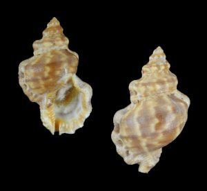 Bursa scrobilator (Pitted frog shell)