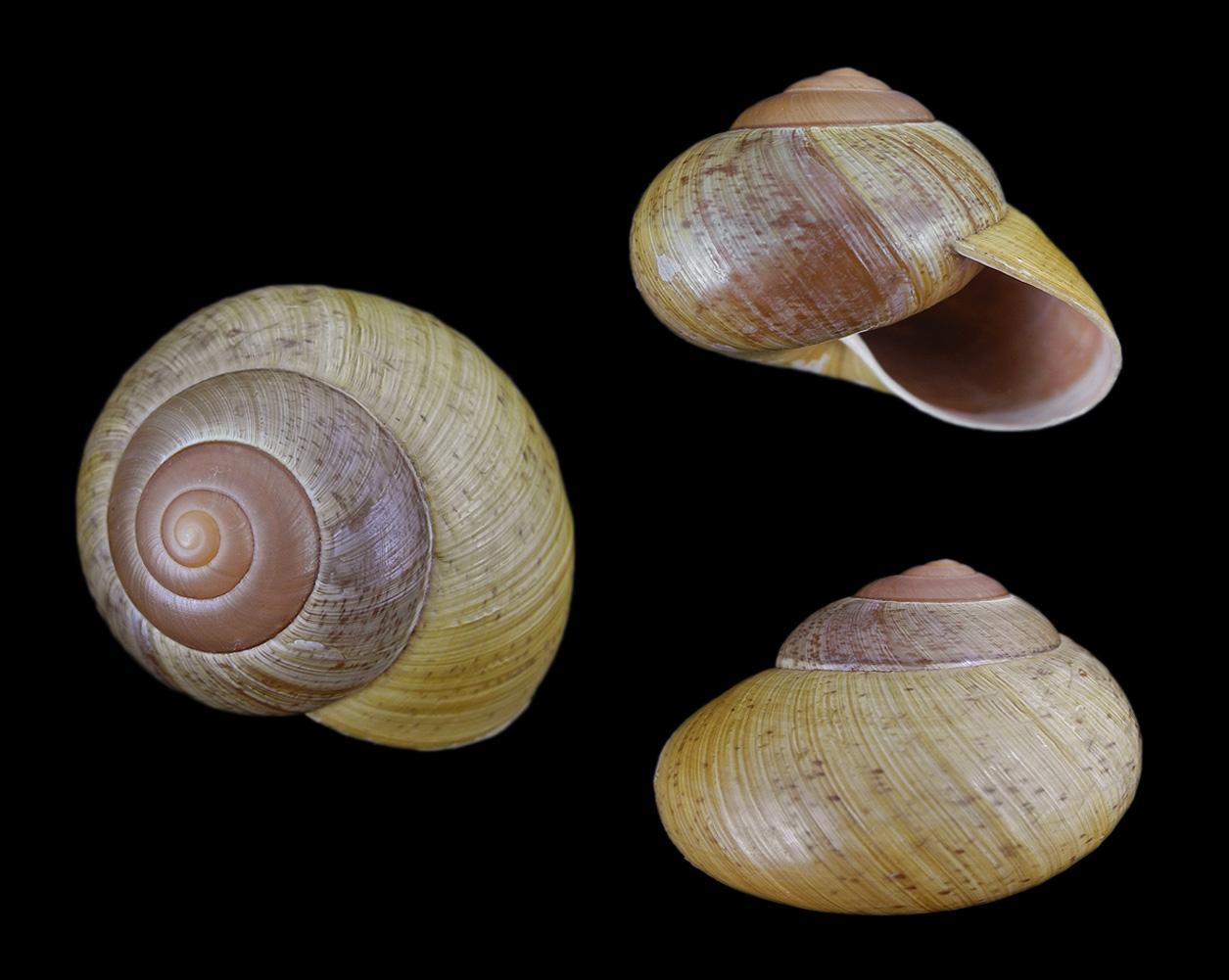 Asian bushy clam