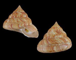 Mikadotrochus hirasei (Hirasei's slit shell)