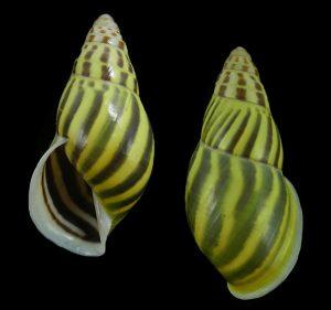 Amphidromus oscitans