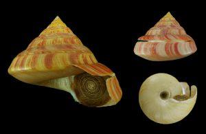 Entemnotrochus rumphii (Rumphius' slit shell)