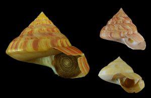 Pleurotomariidae (Slit shells)