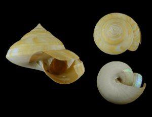 Bayerotrochus teramachii (Teramachi's slit shell)