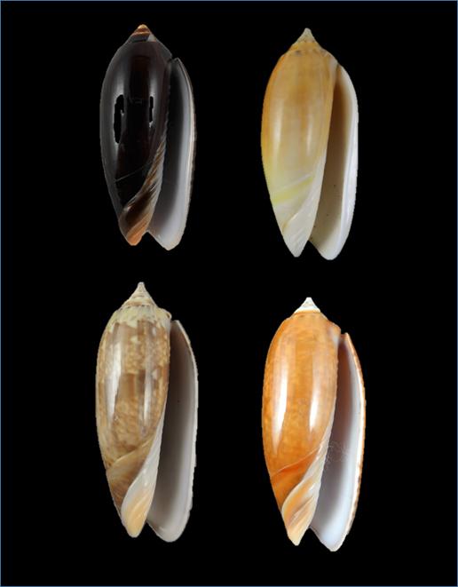 Oliva irisans kremerorum