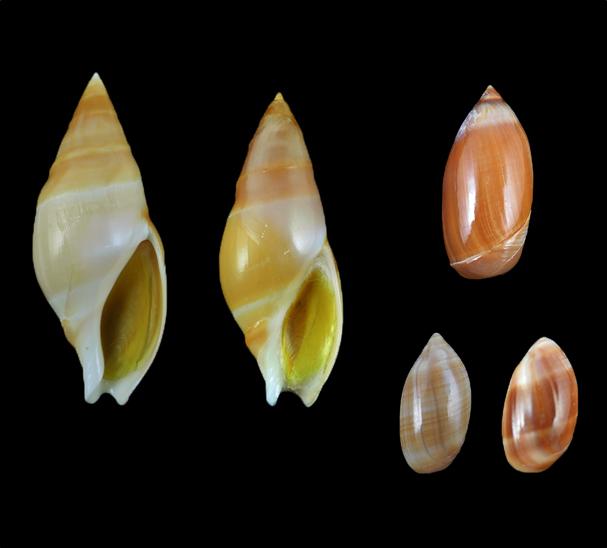 Ancillariidae