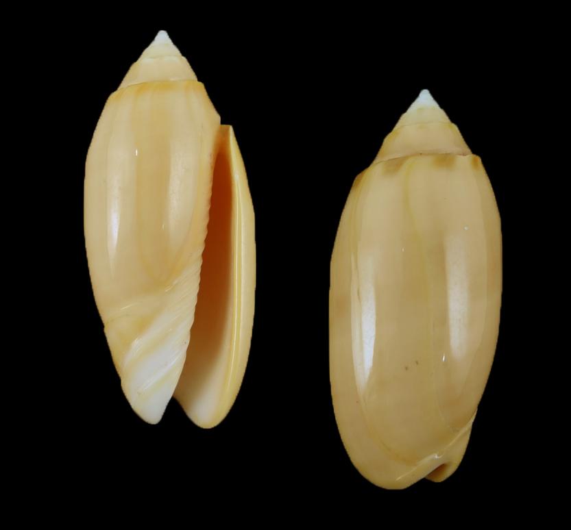 Oliva amethystina f. carnicolor (Blood-coloured olive)