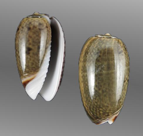 Oliva dactyliola