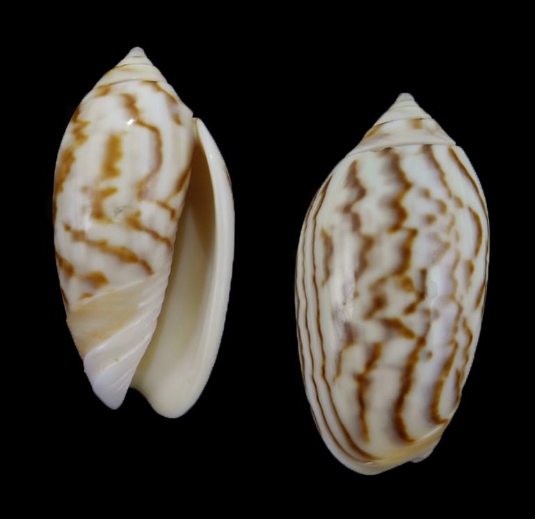 Felicioliva peruviana f. fulgurata (Striped peruvian olive)