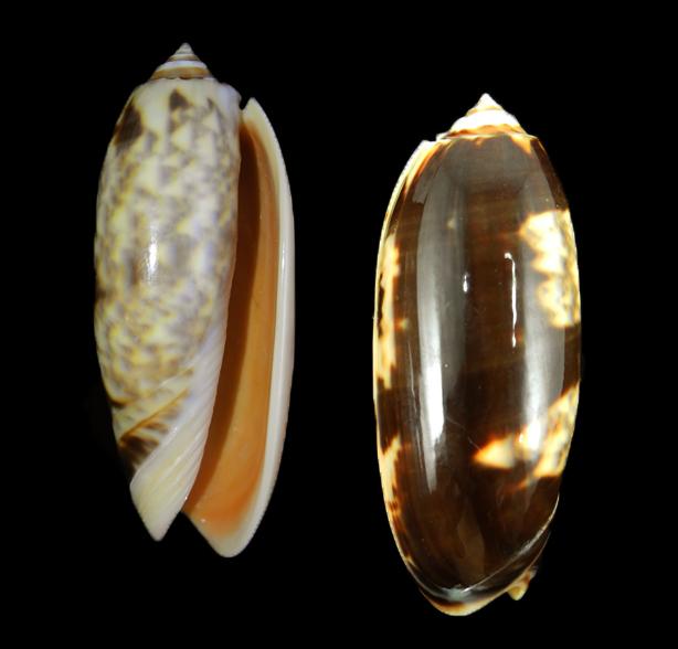 Miniaceoliva miniacea f. johnsoni
