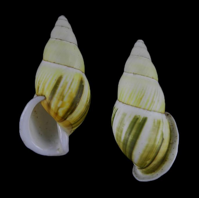 Amphidromus juniorabbasi