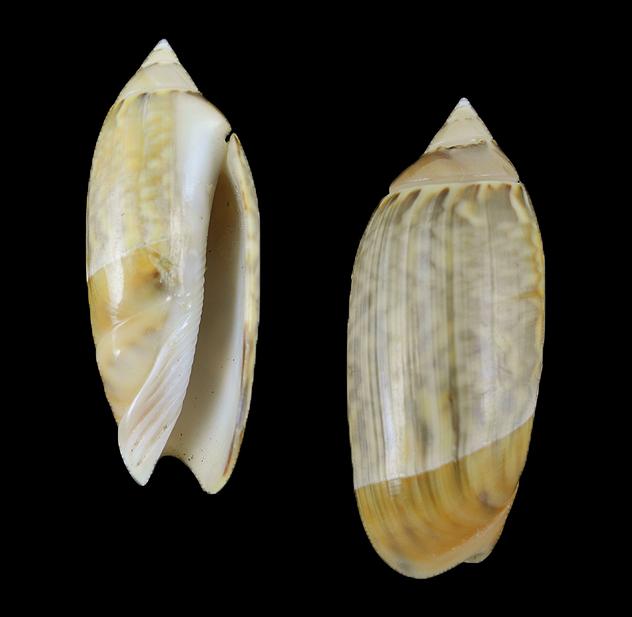 Agaronia nebulosa (Blotchy ancilla)