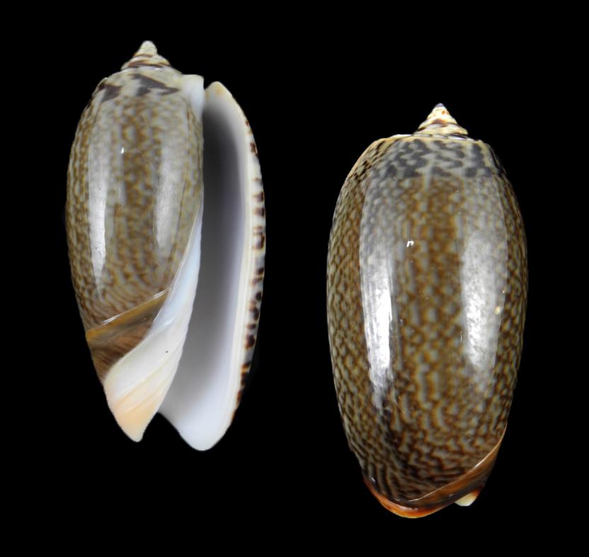 Oliva elegans (Elegant olive)